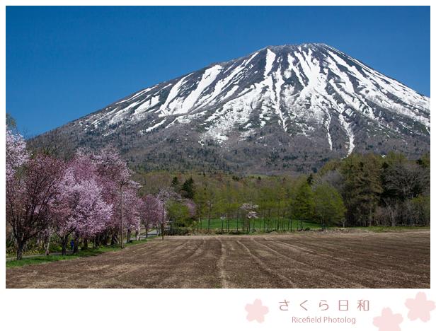 桜 羊蹄山.jpg