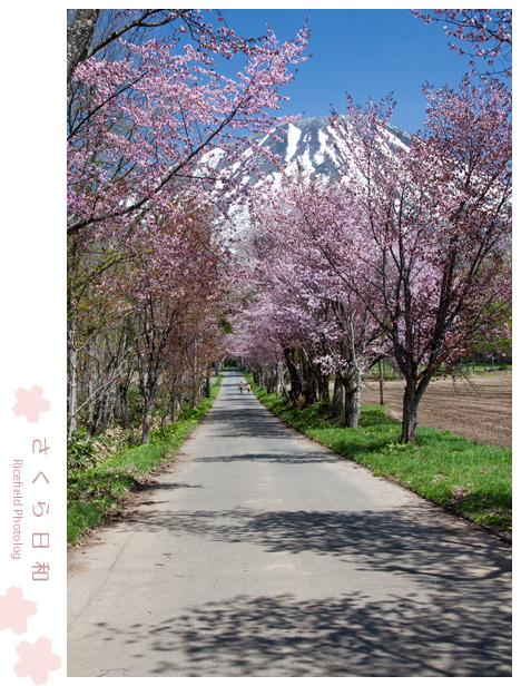 桜 羊蹄山