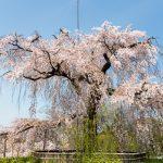 京都さくら日和 '14 祇園界隈