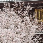 京都さくら日和 '16 #1 哲学の道