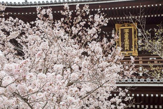 京都さくら日和 '16
