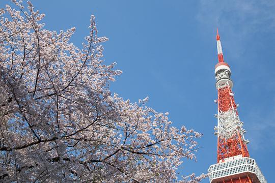 東京さくら日和 '16 #2 芝公園