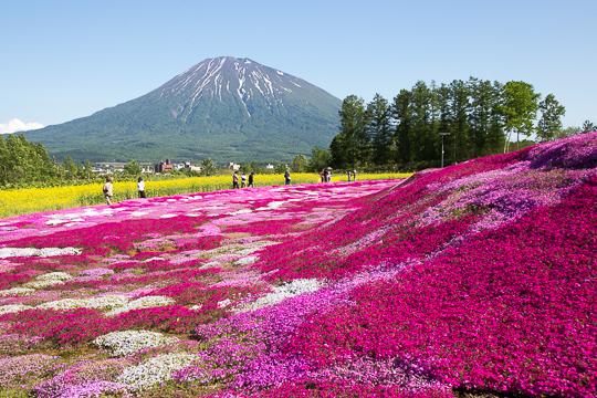 快晴の羊蹄山と芝桜